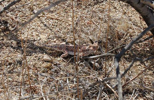 Horned lizard.